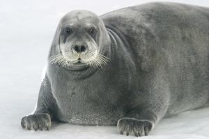 Bearded Seal - resting on ice