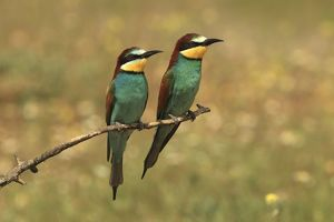 Bee Eater male and female