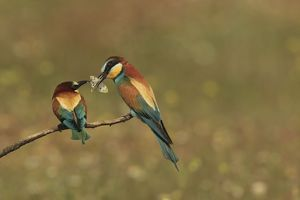 Bee Eater male presenting butterfly prey to female