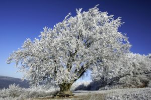 Beech Tree - Covered with snow and frost in winter