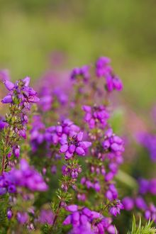 Bell Heather - Summer