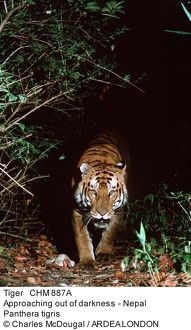 Bengal / Indian TIGER - approaching out of darkness