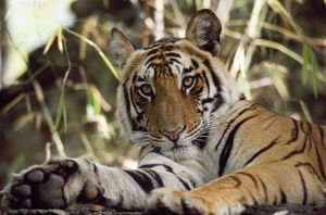 BENGAL TIGER - CLOSE UP