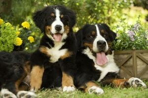Bernese Mountain Dog - lying in garden with puppy.