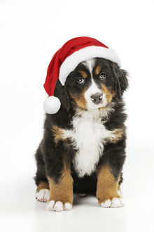 new images april 2019/bernese mountain dog puppy sitting wearing christmas