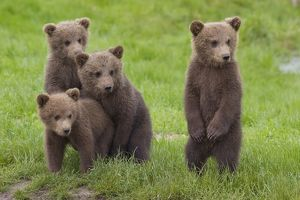 Best friends - Four cute Brown Bear cubs