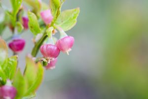 Bilberry Flower - Spring