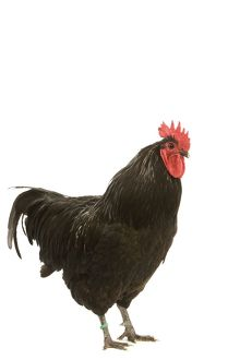 Black Australorp Chicken