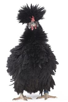 Black Bantam Lyonnaise Chicken with frizzled plumage
