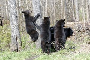 Black Bear - adult female with 18 month old cubs