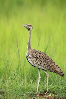 Black-bellied Bustard Selous Game Reserve, Tanzania,