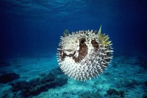 Black-Blotched Porcupine Fish - puffed up
