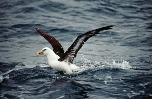 Black Browed Albatross - catching fish from sea