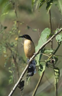 Black-Capped Mocking THRUSH - (Black-Capped Donacobius)