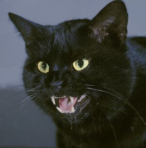 Black Cat - close-up of face, snarling