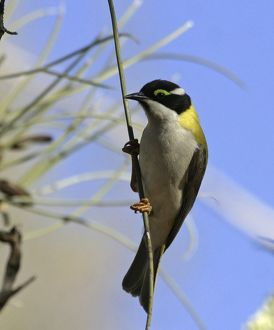 Black-chinned / Golden Backed Honeyeater - on Long-leaved Corkwood, Hakea suberea