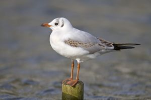 Black Headed Gull - first winter