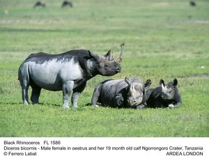 Black / Hooked-lipped Rhinoceros