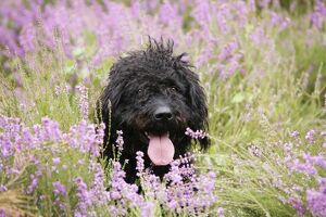 Black labradoodle sitting in field