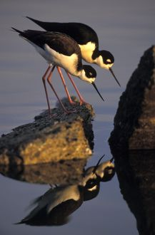 Black-necked Stilt - male and female feeding in salt pond