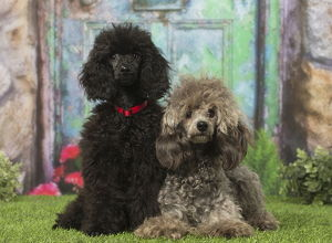 Black Poodle and grey Poodles dogs outdoors