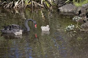 Black Swan - with cygnets