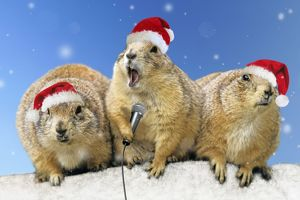 Black-tailed Prairie Dog - three animals in a row wearing Christmas hats one holding