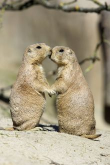 Black-tailed Prairie Dog - pair showing affection behaviour