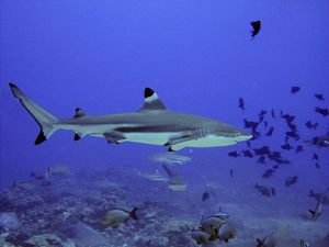 Black-tip / Blacktip Reef Shark - Swimming through fish