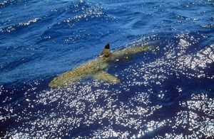Black-Tip Shark - With fin above water