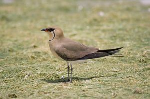 Black-winged PRATINCOLE - side view