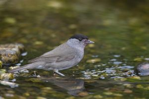 Blackcap adult male bathing Germany