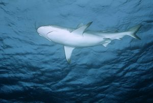 Blacktip Reef / Whaler Shark