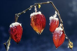 Bladder-cherry / Chinese Lantern / Winter cherry - wih snow