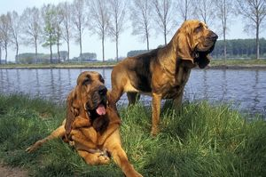 Bloodhound - two on riverbank