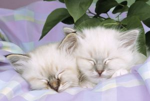 Blue Tabby & Seal Tabby Birman Cats - kittens asleep on check material