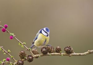 Blue Tit - on larch