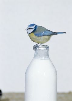 Blue TIT- perched on top of milk bottle