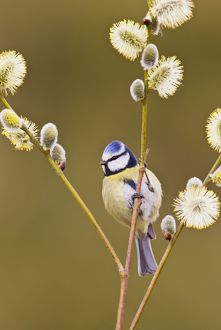 Blue Tit - on Pussy Willow