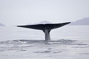 Blue Whale - tail