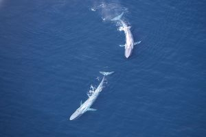 Blue Whales - Near surface