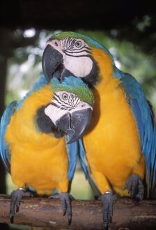 Blue and Yellow MACAWS / Blue and Gold macaws - X2 preening