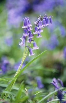 BLUEBELL - flower