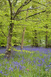Bluebells - amongst Beech Trees in spring
