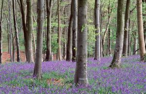 BLUEBELLS - in wood