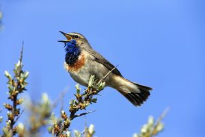 Bluethroat - male singing and displaying Island
