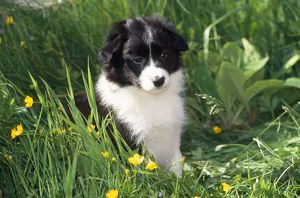 Border Collie Dog - puppy in buttercups