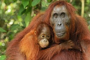 Borneo Orangutan - female with baby (Pongo pygmaeus)
