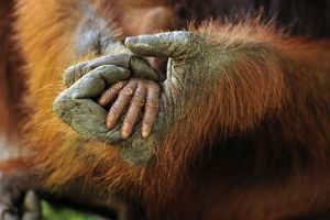 Borneo Orangutan - mother's and baby's hands
