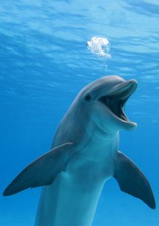 funny/bottlenose dolphin blowing air bubbles underwater